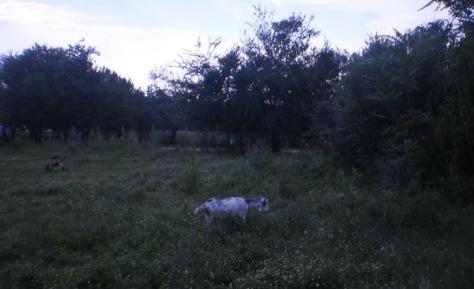 Све ређи призори у звишким селима, август 2014 (Шишман)